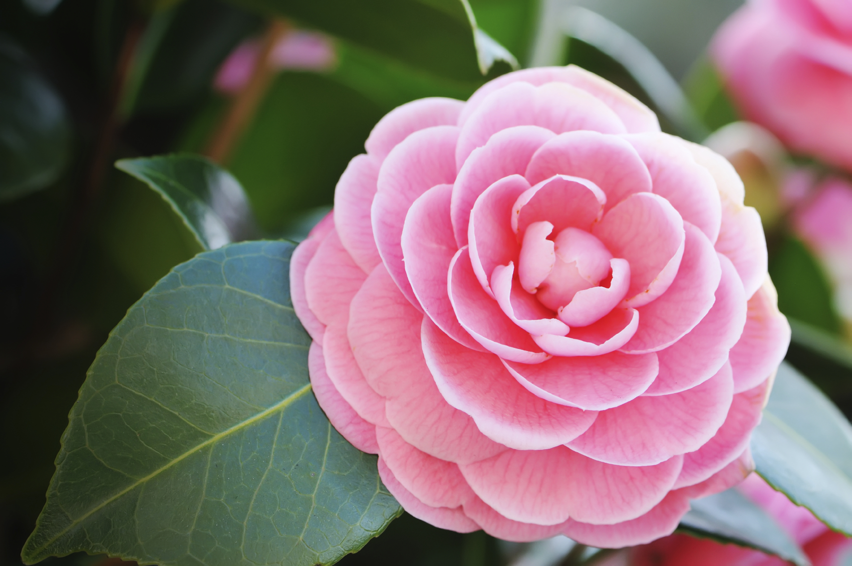 January plant of the month camellia powerscourt garden for Tres plantas ornamentales